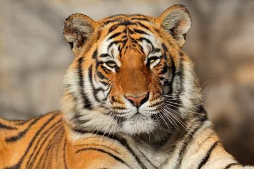 Con hổ bhutan