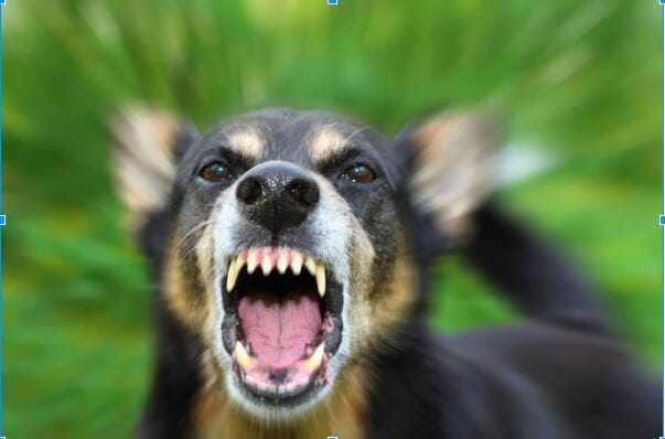 Chó dại cắn bao lâu thì phát bệnh