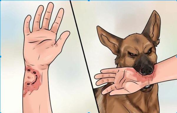 Chó dại cắn người bao lâu thì chết